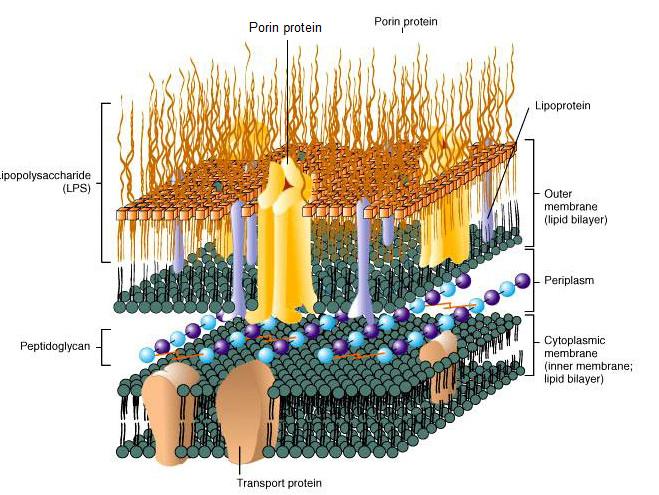 Endotoksyna (LPS) stanowi integralny komponent ścianki komórki bakterii gram-ujemnych.