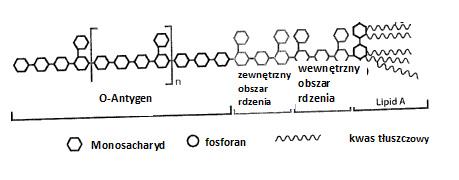 Cząsteczkowa struktura endotoksyny (LPS)