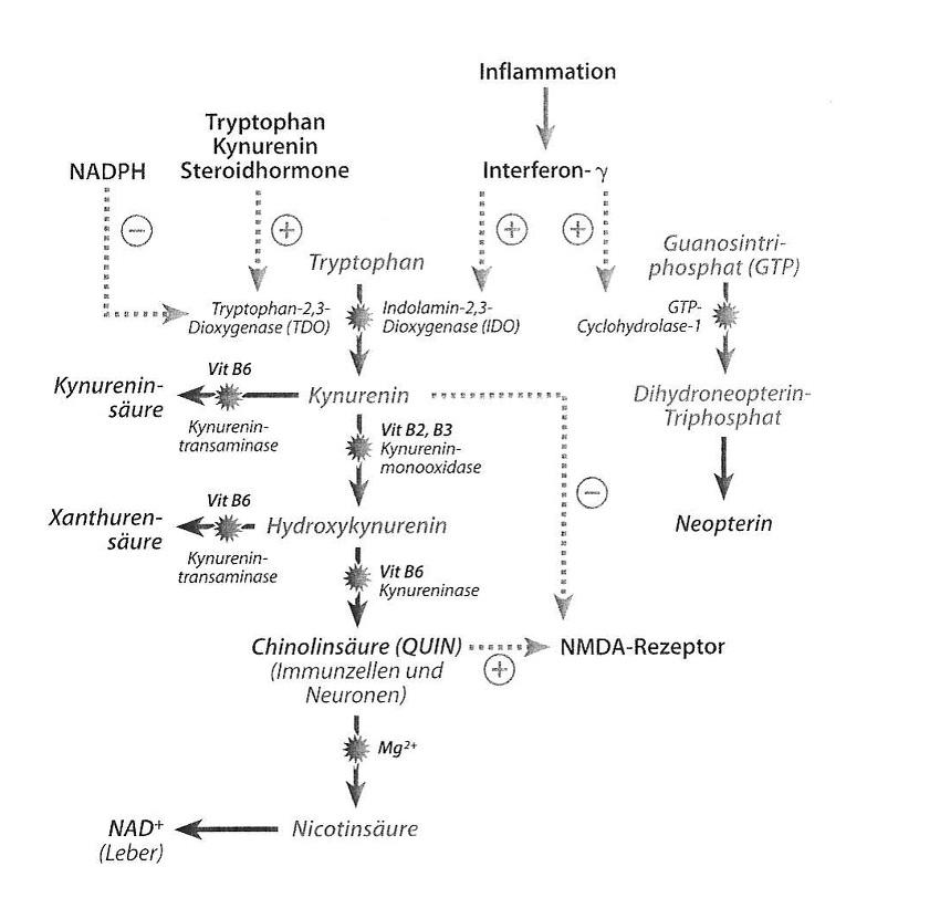 Rozpad tryptofanu ma miejsce w warunkach fizjologicznych oksydacyjnie dzięki 2,3-dioksygenazie tryptofanowej (TDO). W zależności od tkanki powstaje przy tym produkt końcowy NAD+ (wątroba) lub kwas chinolinowy (komórki odpornościowe i neurony). W okolicznościach patologicznych (chorobowych) jak np. stan zapalny, zostaje zaindukowana 2,3-dioksygenaza indolaminowa (IDO), co prowadzi do wzmożonego wytwarzania kwasu chinolinowego. Jeśli aktywność enzymów w wyniku braku kofaktorów (witamina B2, B3, B6) zostanie obniżona lub też TDO zostanie wzmocnione w swej aktywności przez hormony steroidowe lub wzmożony metabolizm tryptofanu, to dochodzi do wzmożonej syntezy kwasu kinureninowego oraz ksanturenowego.